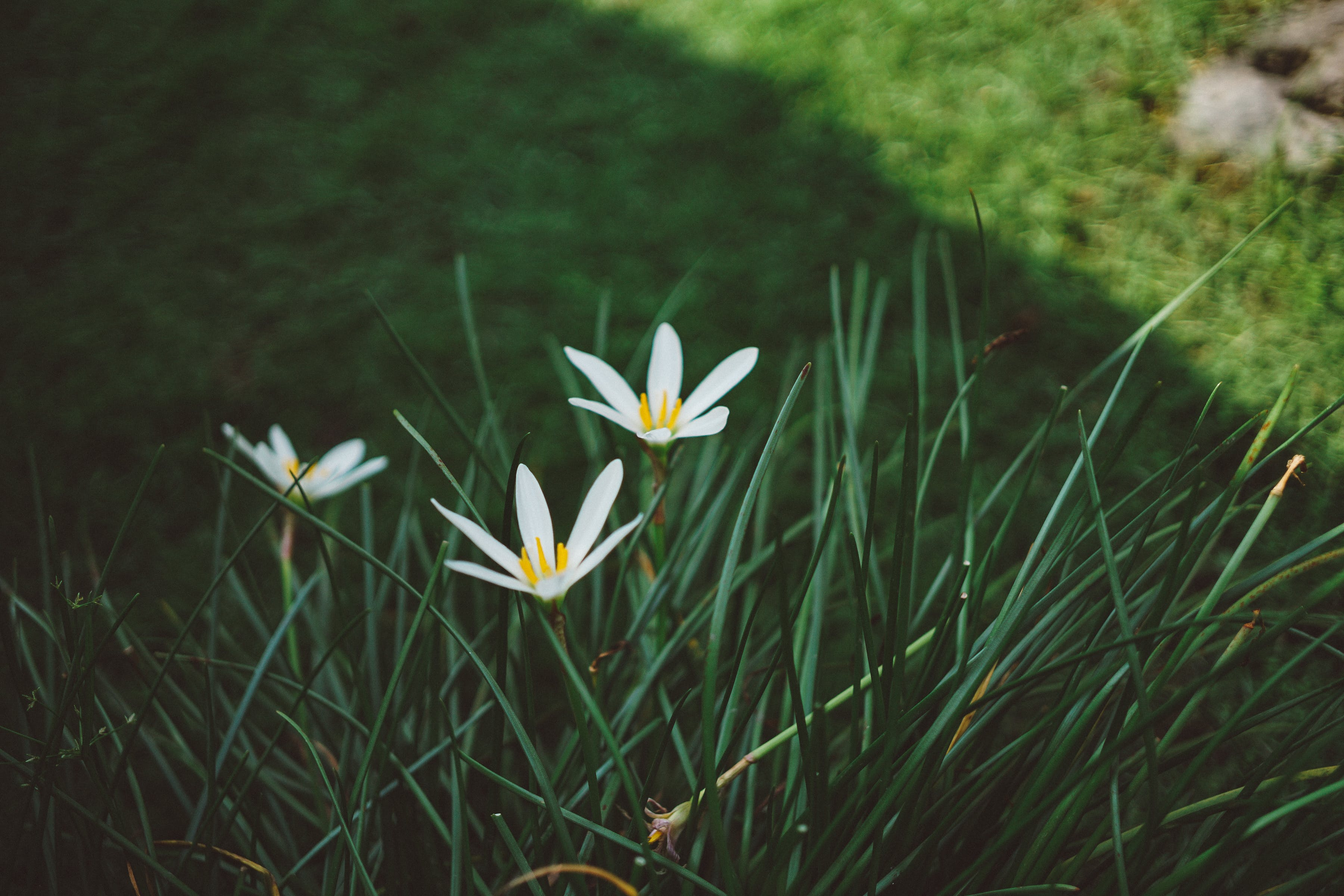 White Rain Lilies at Daytime Close Up Photography