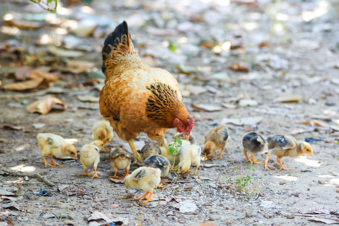 Brown and Black Hen With Peep of Chick Outdoor