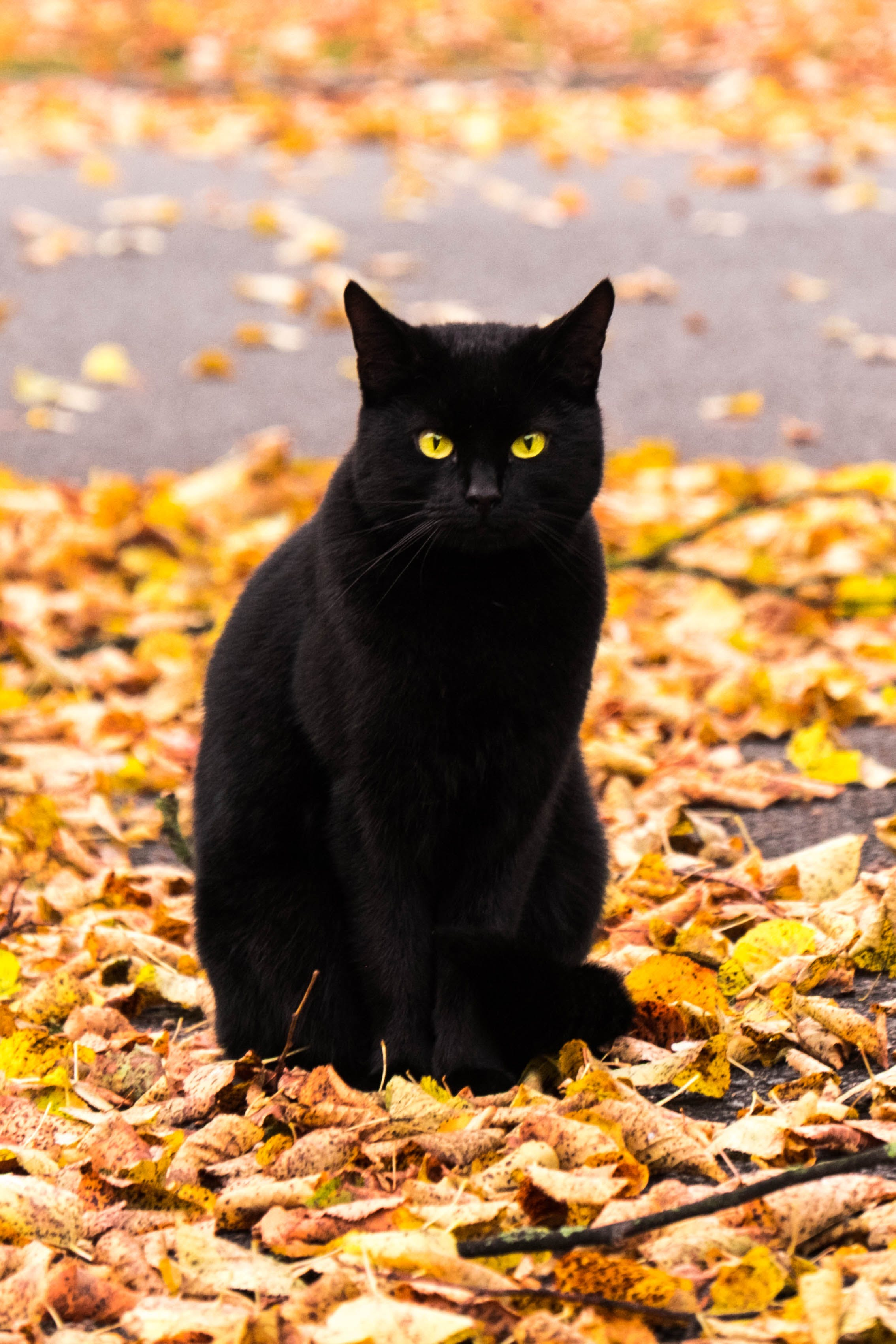 Free stock photo of black, broom, cat, eyes