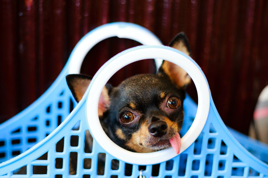 Black-and-tan Smooth Chihuahua in Blue-and-white Plastic Basket