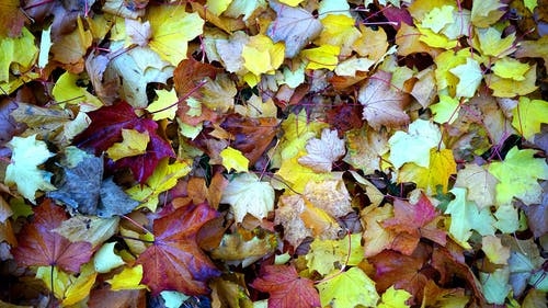 Maple Leaves on Ground Close Up Photo during Daytime