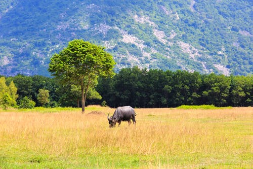 Photo Of A Carabao On Grass Field