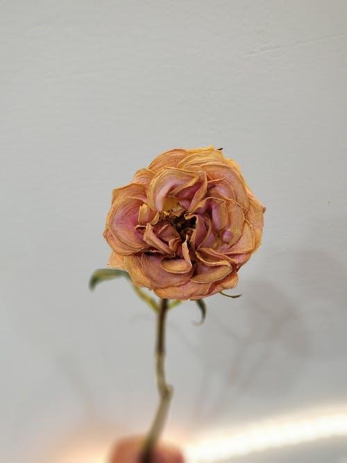 漂亮, 特寫, 花瓣, 顏色 的 免费素材照片