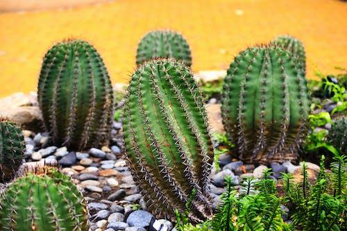 Darmowe zdjęcie z galerii z kaktus, kamienie, kolczasty, martwa natura