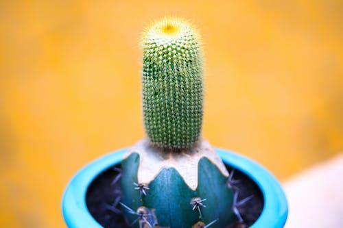 Darmowe zdjęcie z galerii z flora, kaktus, kolczasty, kolor