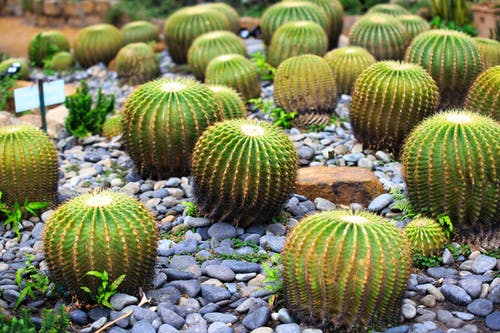 Darmowe zdjęcie z galerii z botaniczny, ciernie, jasny, kaktusy