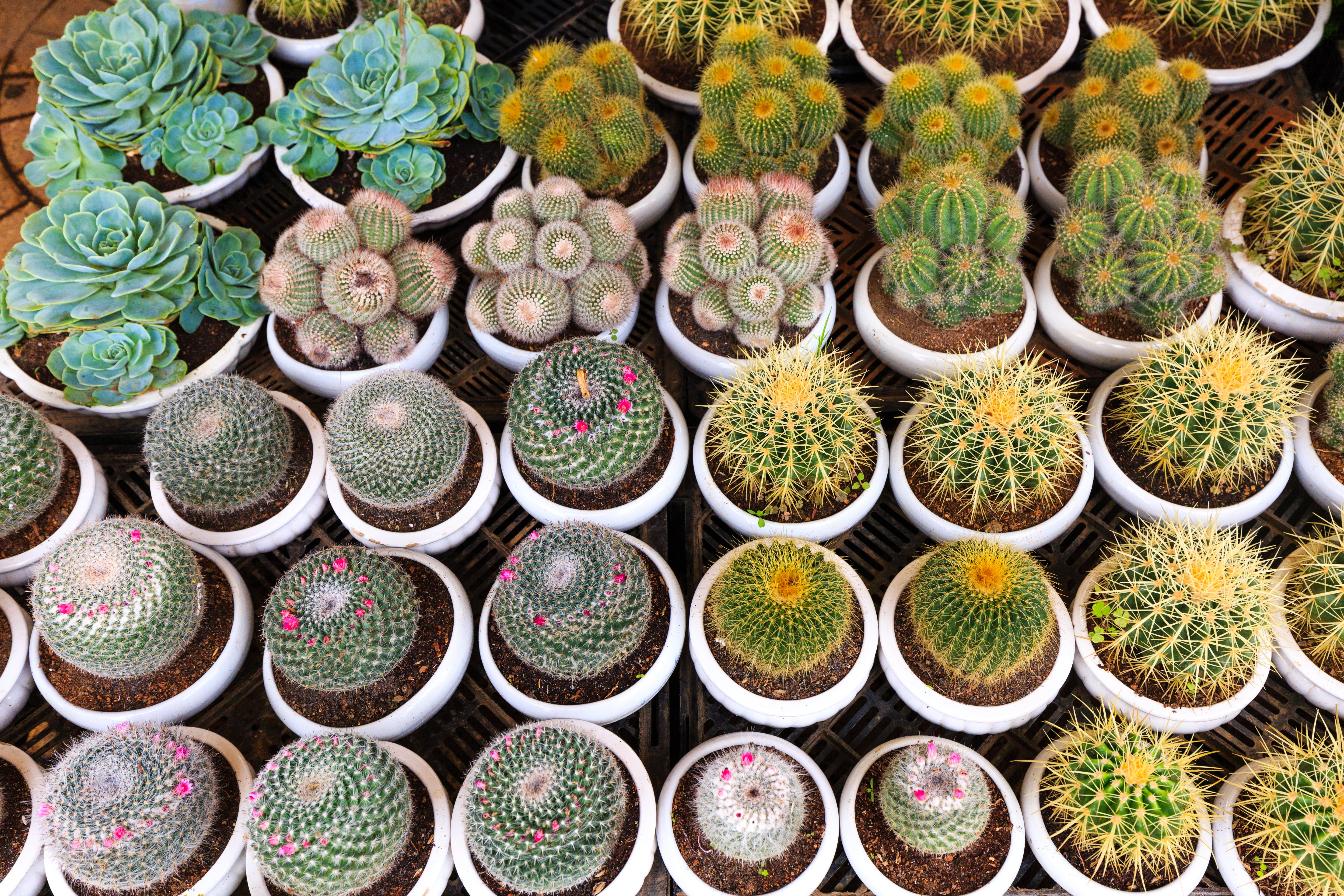Green Potted Cactus Plants