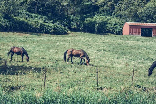 Three Horses Eating Grass