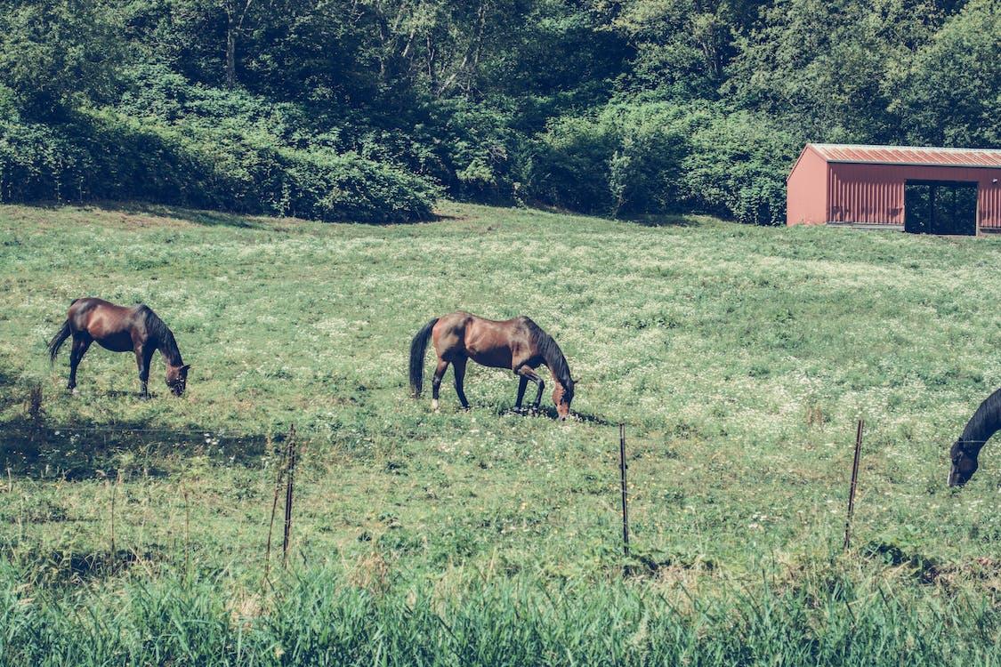 cánh đồng, cây, chăn nuôi