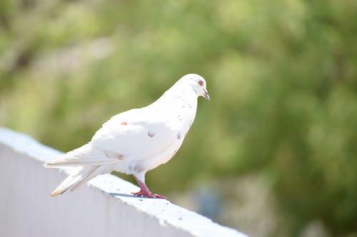 คลังภาพถ่ายฟรี ของ นกพิราบ