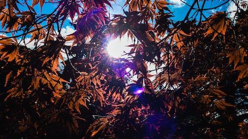 かえで, 夏, 太陽, 太陽の光の無料の写真素材