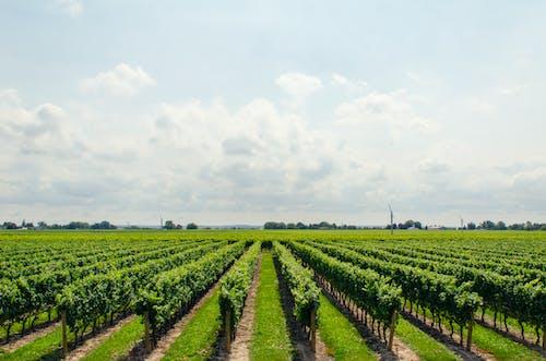 Бесплатное стоковое фото с вино, виноград, виноградник, винодельня