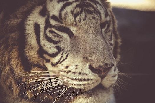 Free stock photo of animal, big, fur, dangerous