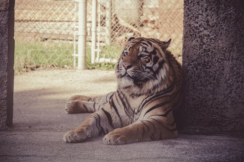 Brown Tiger
