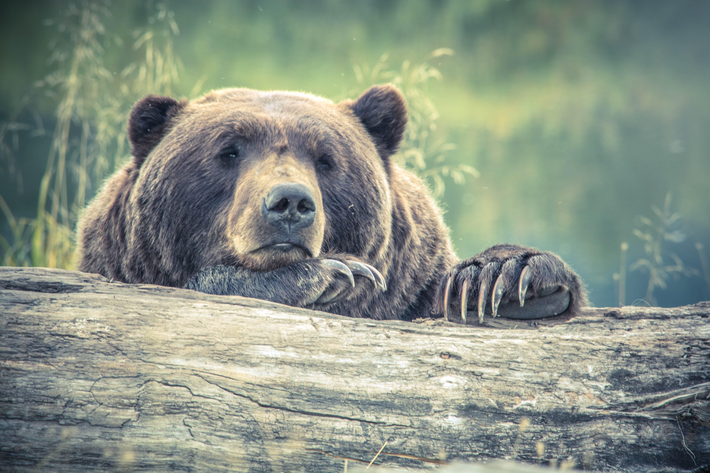 Brown Bear Resting on Tree Log