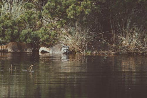 Two Raccoons on Body of Water