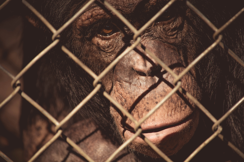 Free stock photo of animal, zoo, monkey, wire mesh