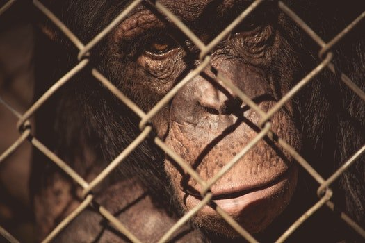 Free stock photo of animal, zoo, monkey, wire mesh