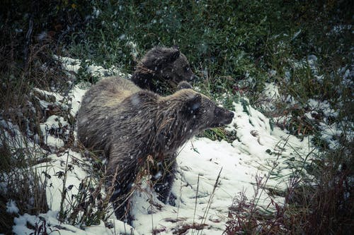 Tow Brown Bears Standing on Snow