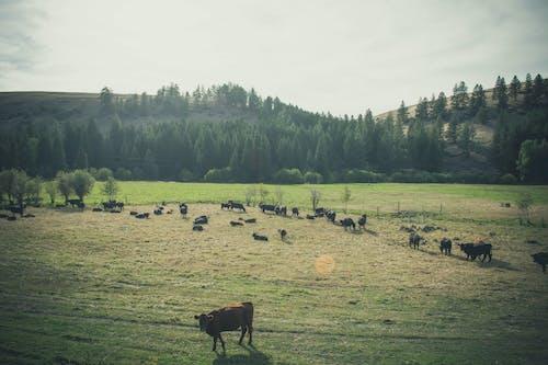 Ilmainen kuvapankkikuva tunnisteilla eläimet, kenttä, laidun, lehmä