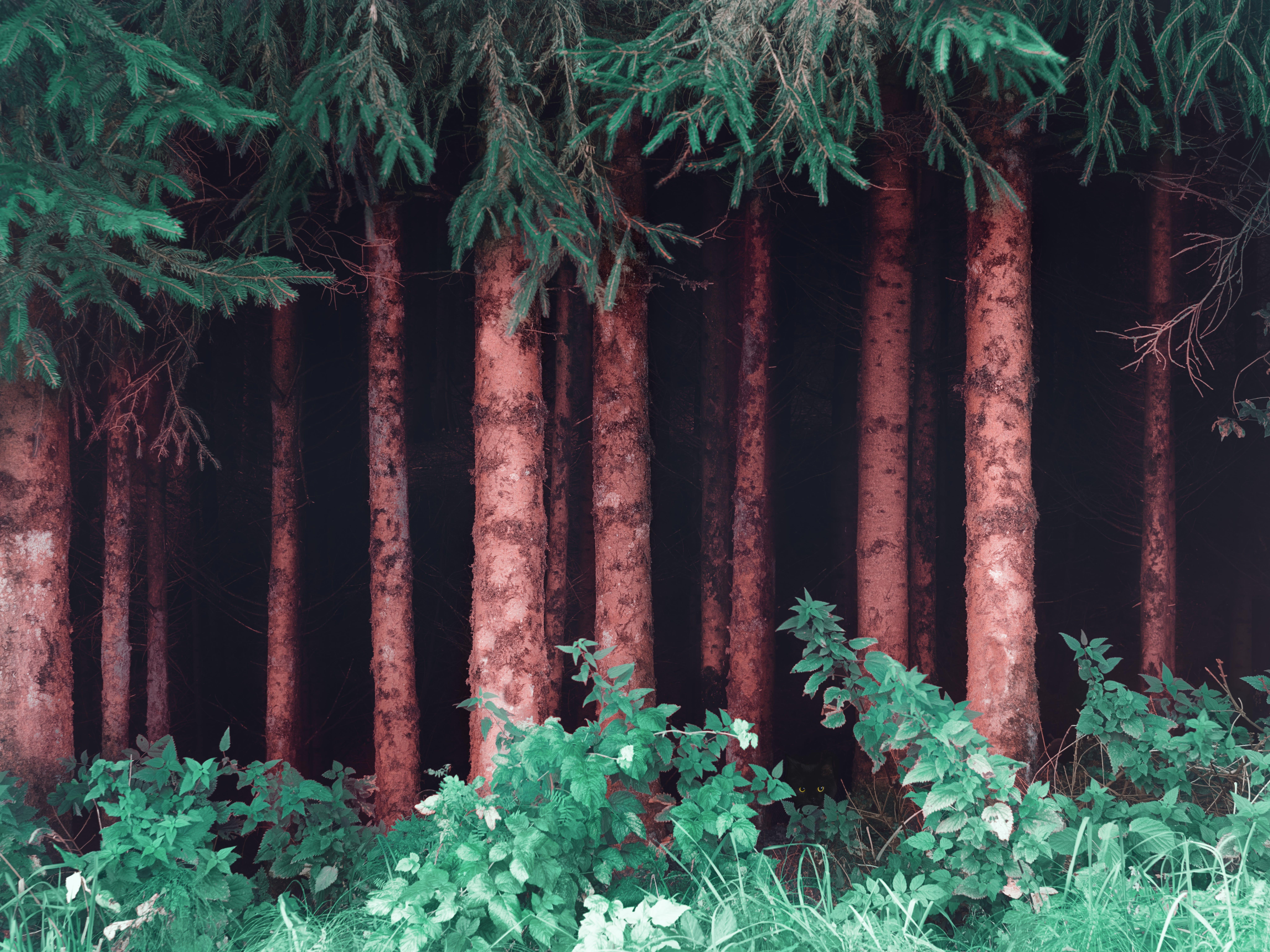 Foto d'estoc gratuïta de a l'aire lliure, arbres, avets, bosc