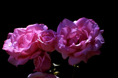 Close-up Photo of Two Pink Rose Flowers