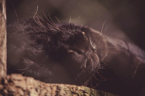 Close-up Photography of Black Panther Lying on Brown Wood