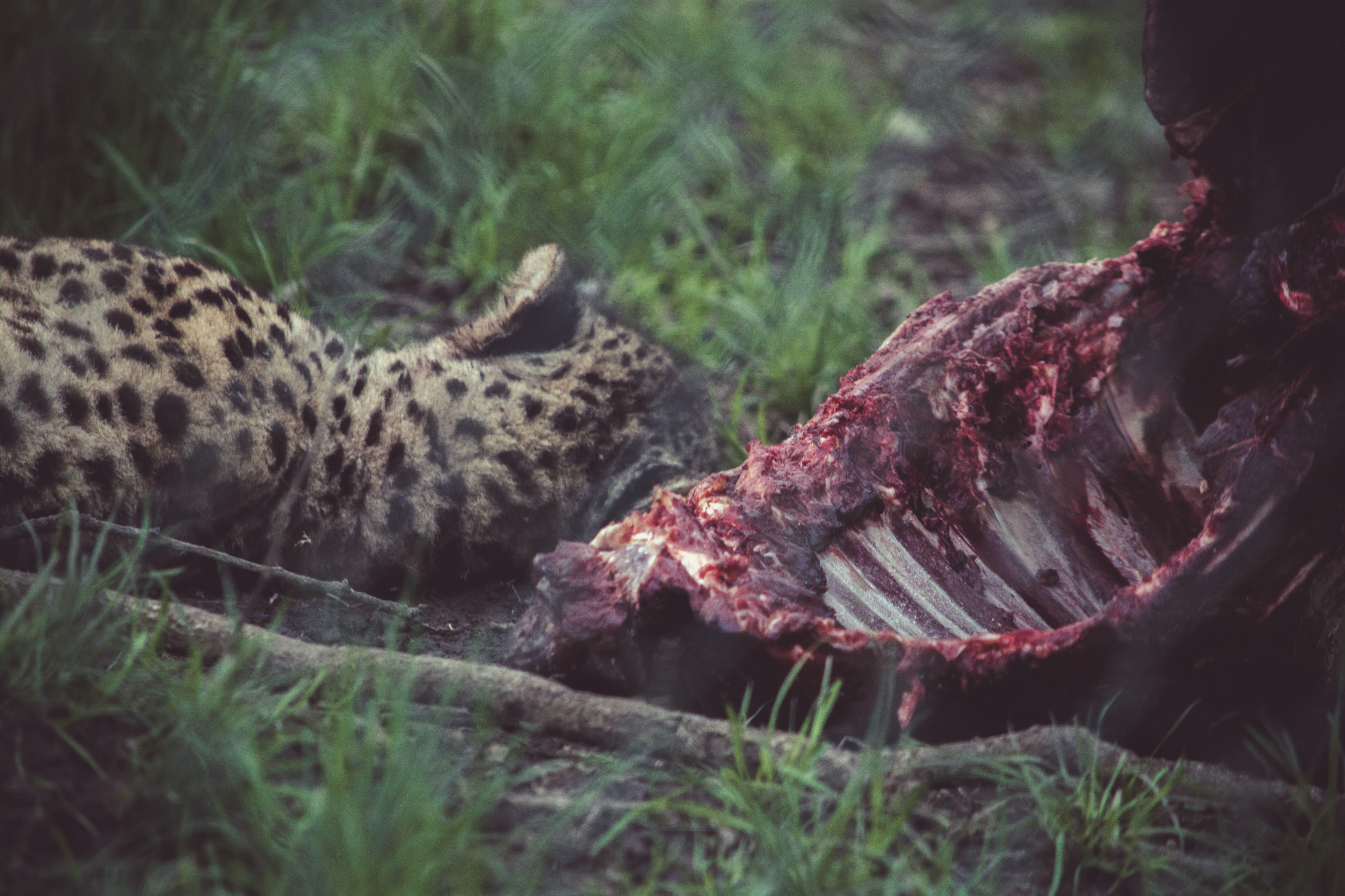 Cheetah Near Carcass