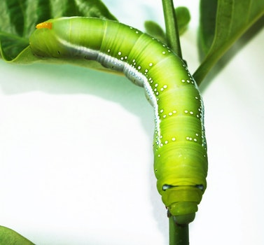 Green Caterpillar
