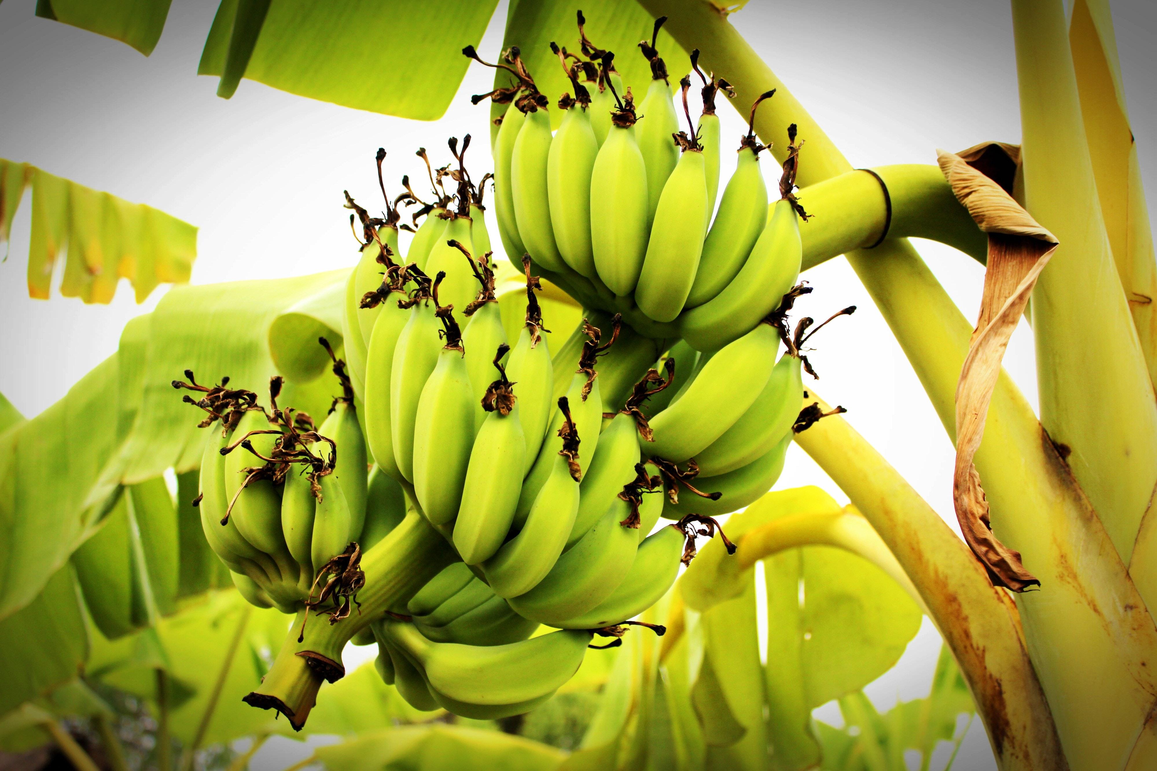 Green Banana Tree Free Stock Photo