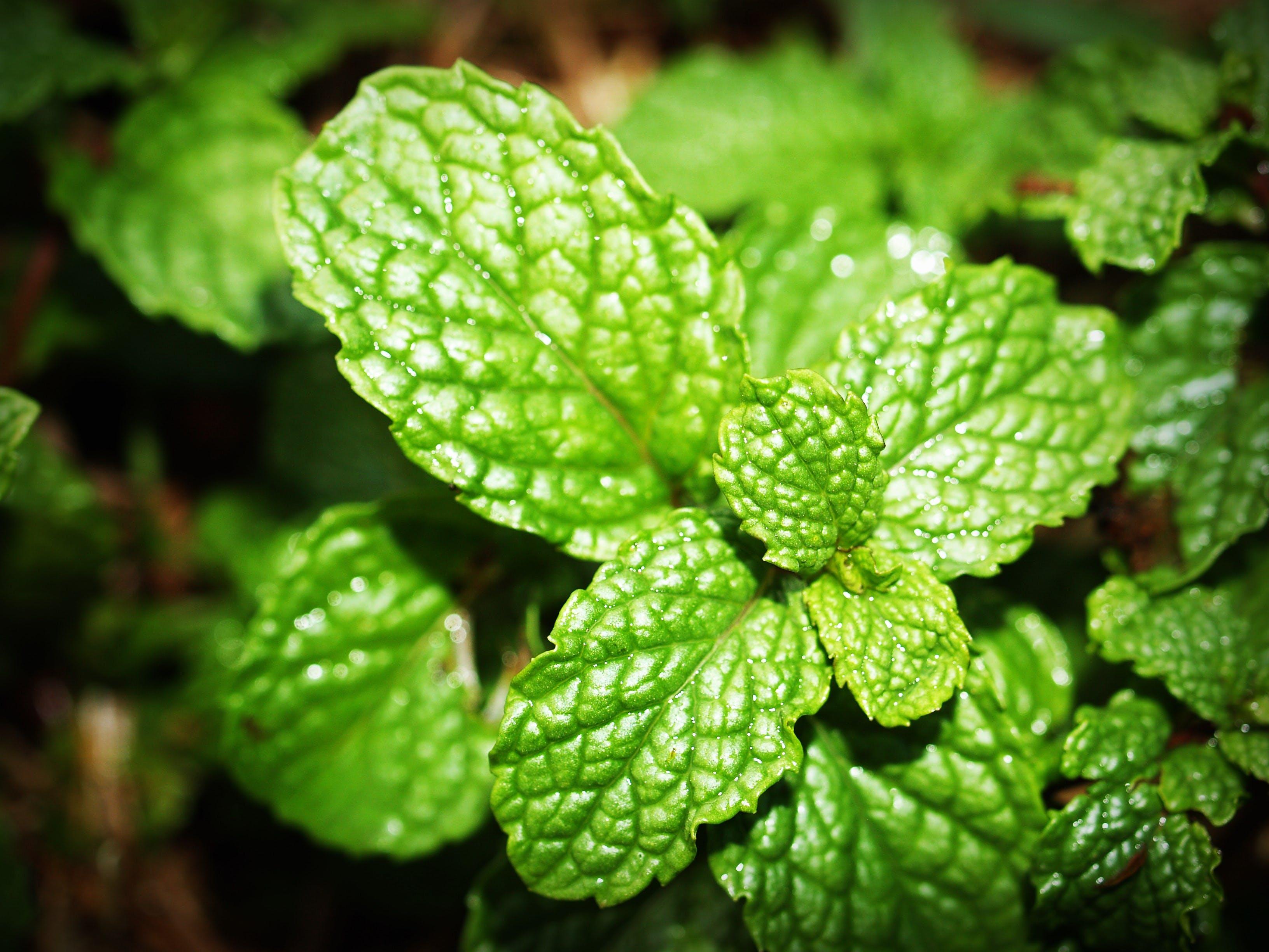 Základová fotografie zdarma na téma aroma, aromatický, bylinka, bylinný