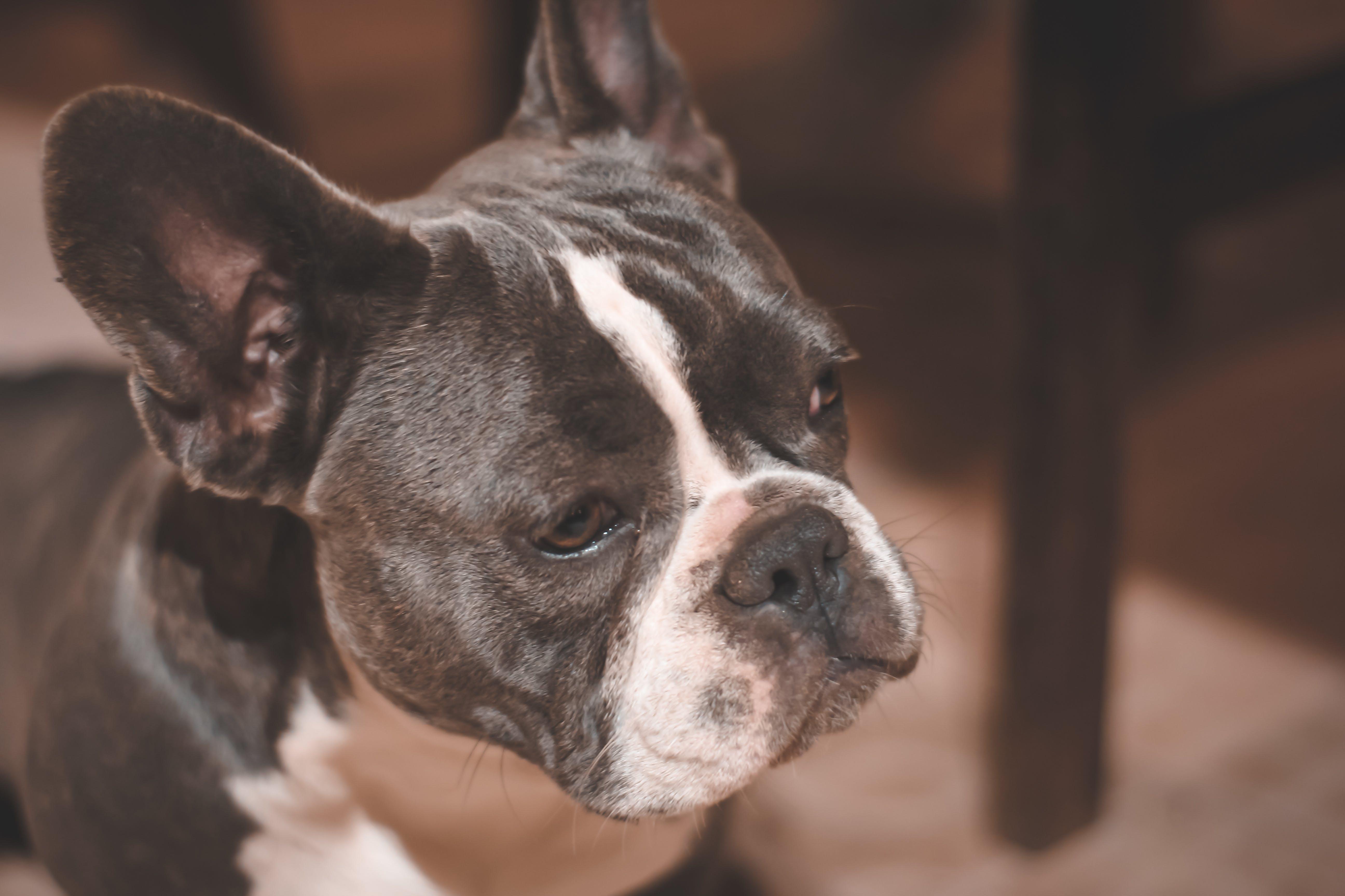 Gratis lagerfoto af bulldog, close-up, dybde, dyr