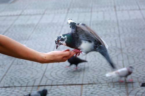 Photo Of Pigeon Perched On Person's Hand