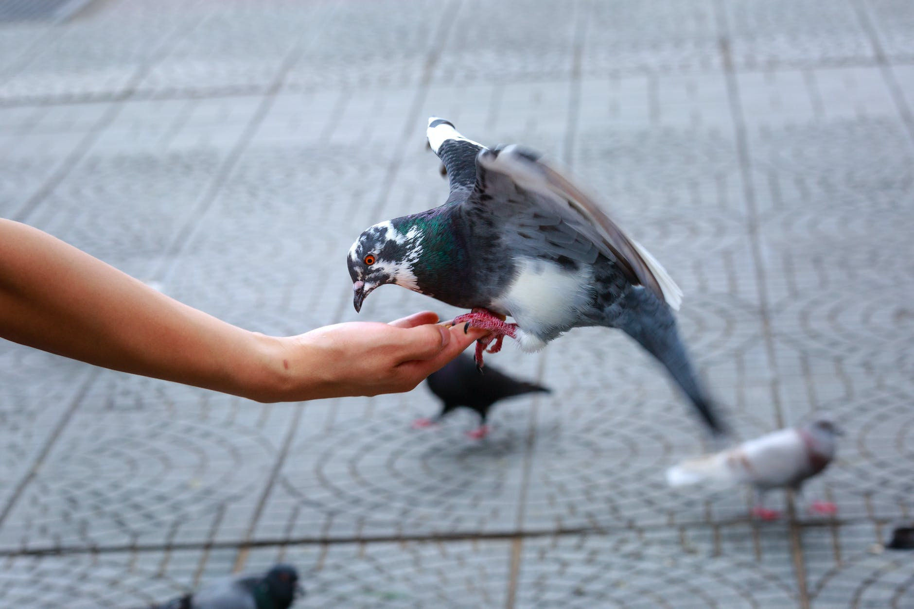 pigeon on a person hand