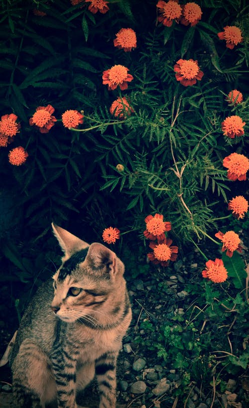Безкоштовне стокове фото на тему «домашні тварини, квіти, кішка»