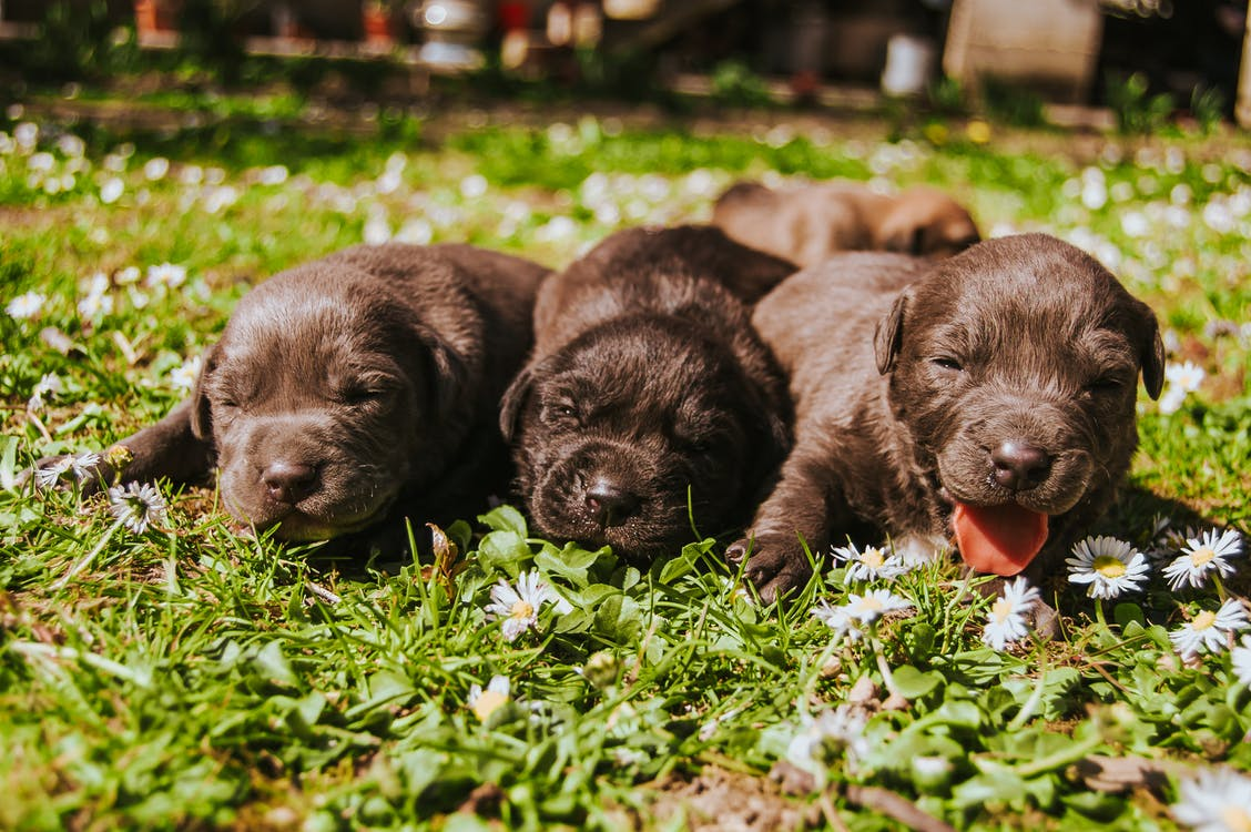 Three Brown Coated Puppies