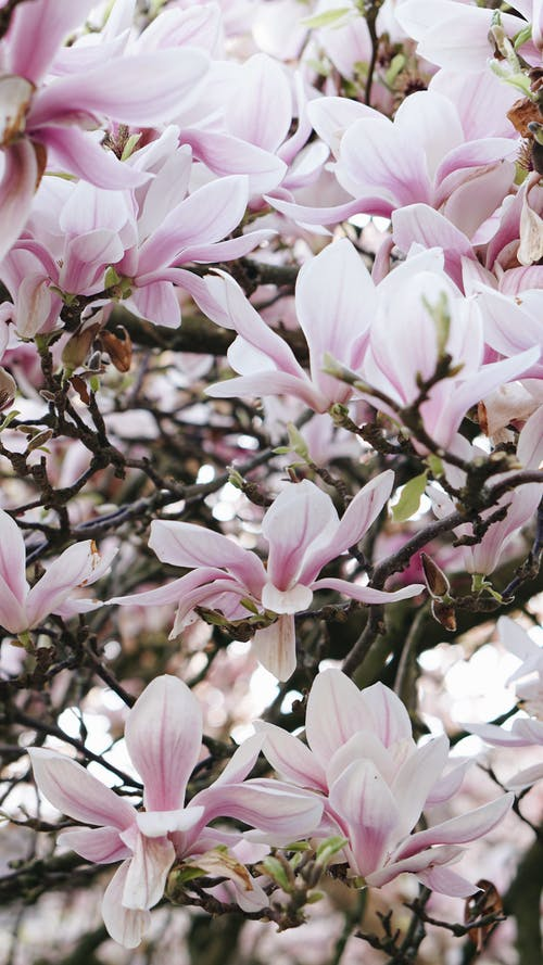 Free stock photo of blooming tree, magnolia, pink tree, spring