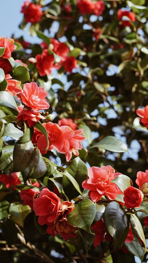 Free stock photo of blooming, blooming tree, camellia, flowers