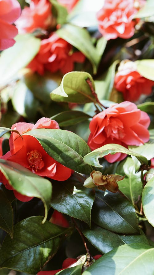 Free stock photo of camellia, flowers, red flowers