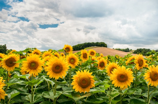 Free stock photo of nature, clouds, field, flowers