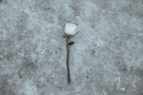 꽃잎, 아름다운, 하얀 꽃, 하얀색의 무료 스톡 사진