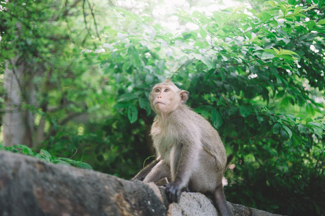 Brown Monkey on Log