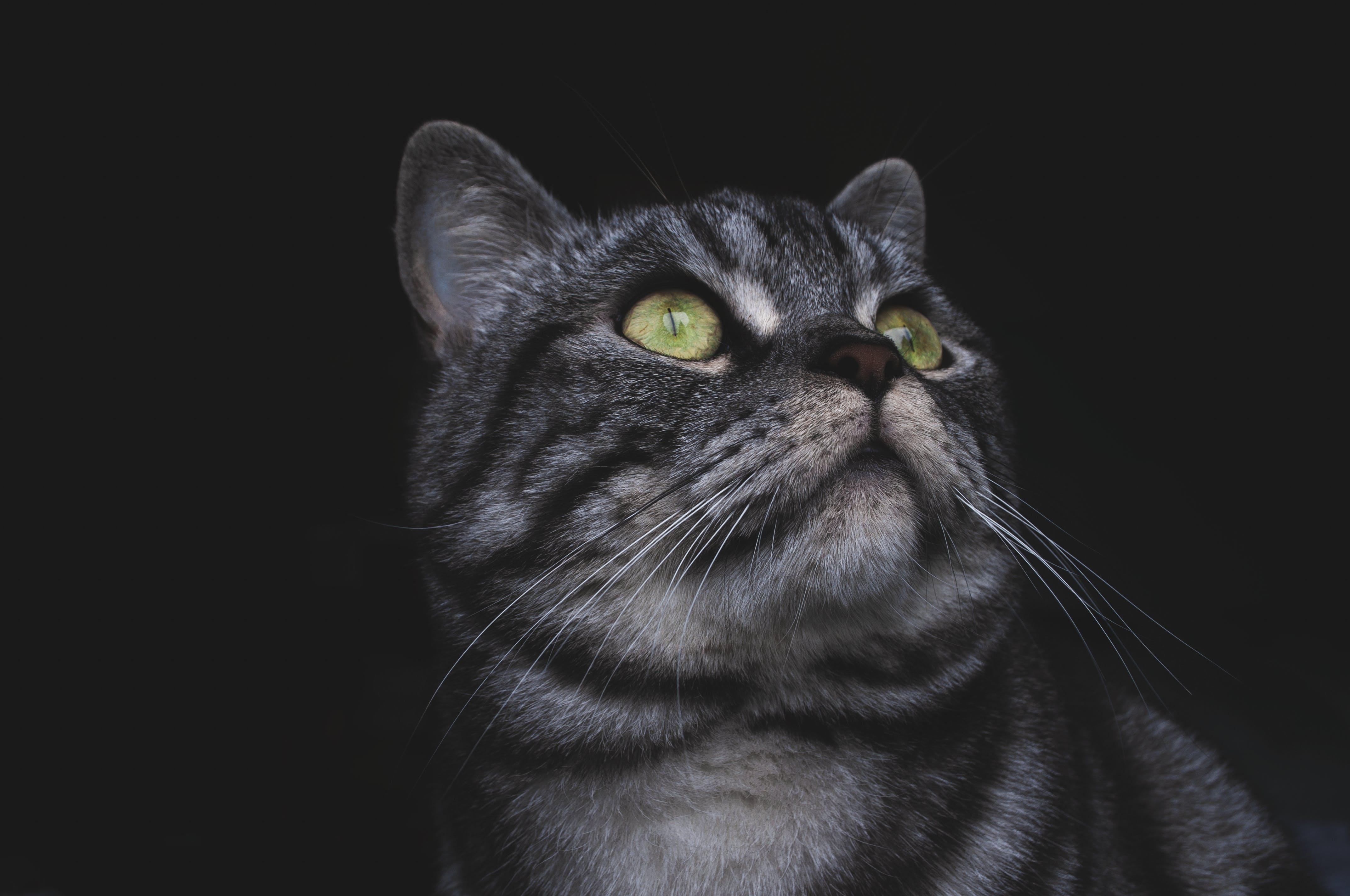 Kostenloses Stock Foto zu augen, bezaubernd, felidae, gefleckt