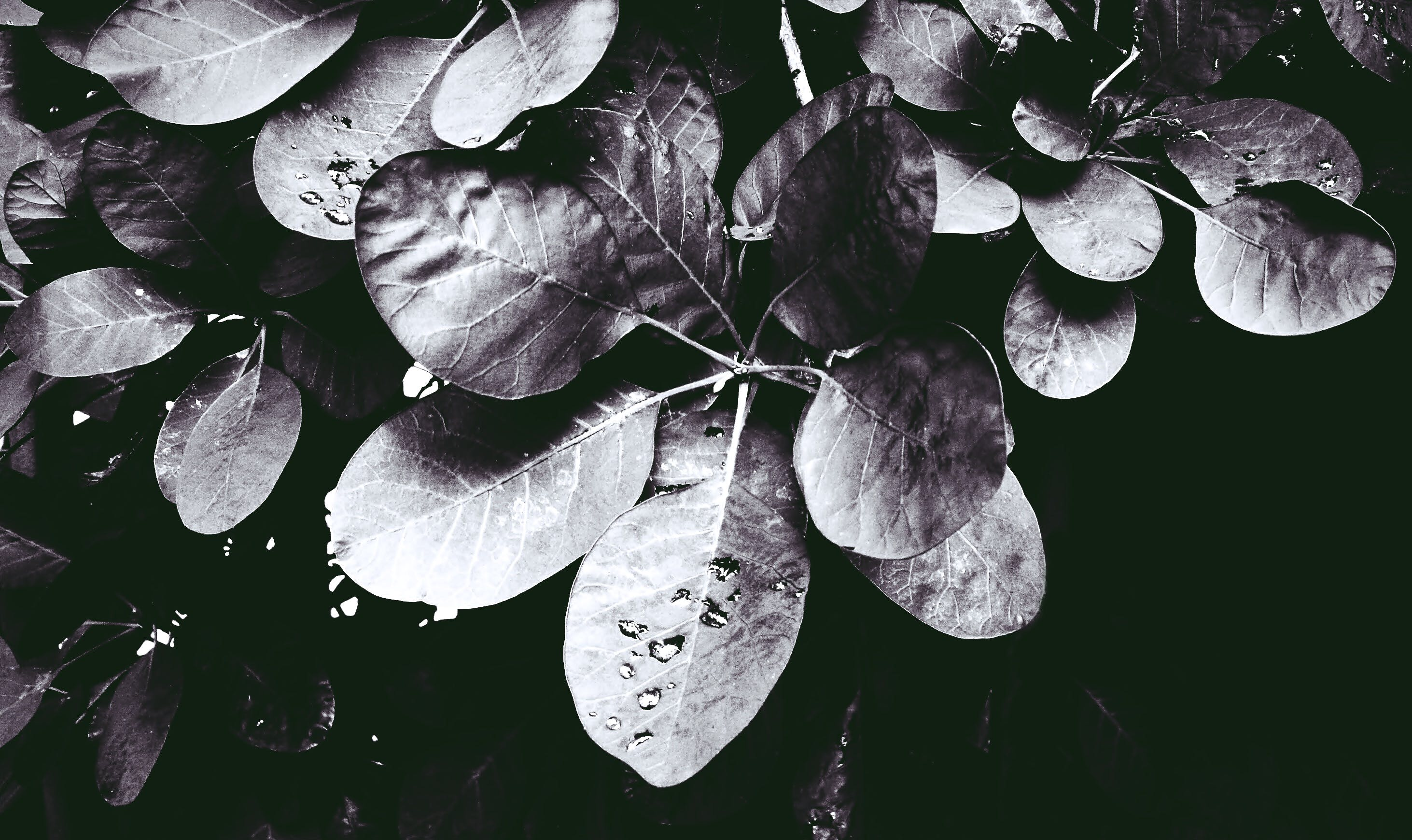 Free stock photo of black and white, foliage, leaf, leaves