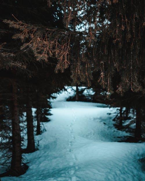 Photos gratuites de à feuilles persistantes, arbres, aube, bois