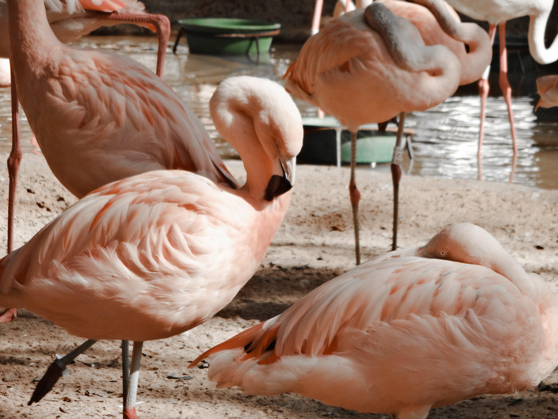 Free stock photo of flamingo