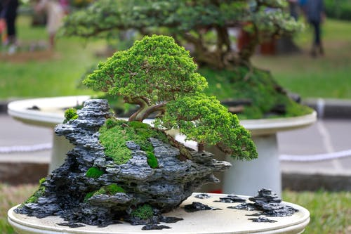 Green Bonzai Tree on Table