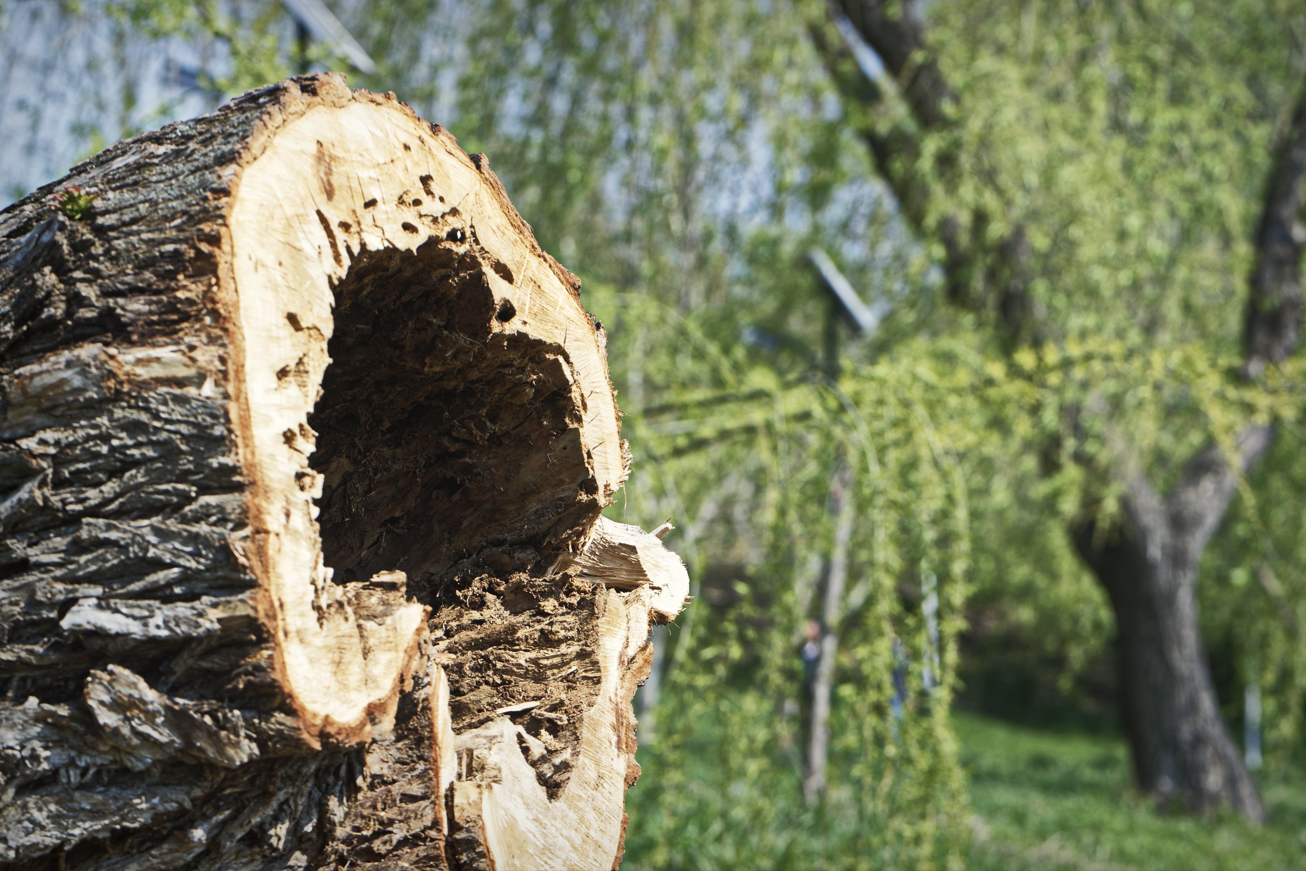 Kostenloses Stock Foto zu bäume, blätter, frühling, geschnittener kofferraum