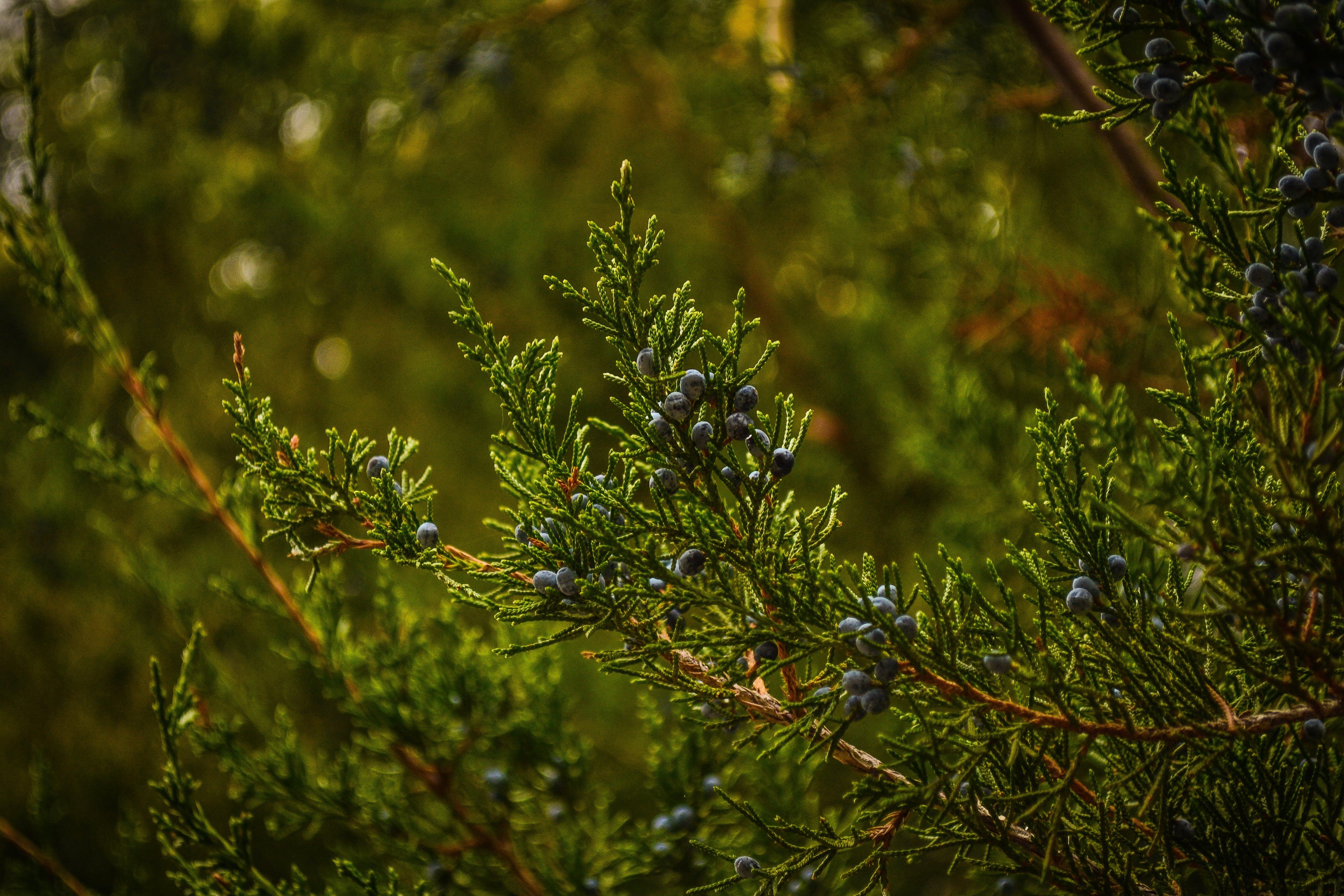 Gratis stockfoto met close-up, concentratie, coniferen, dennen