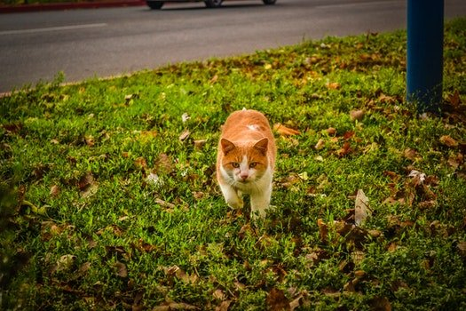 White and Orange Cat Walking on Green Grass during Dayime